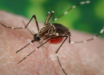 Photo of Aedes Aegypti mosquito.